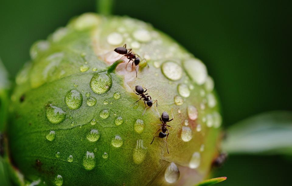 Invasion fourmis maison, désinsectisation